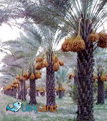 باغ خرمای دشتستان