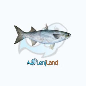 خرید ماهی بیاح، فواید، روش پخت ماهی بیاح