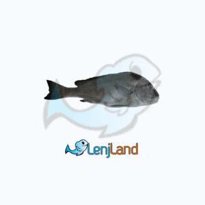 خرید ماهی خنو، فواید، ارزش غذایی و نحوه پخت ماهی خنو