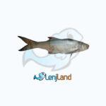 خرید ماهی راشگو، فواید، ارزش غذایی و نحوه پخت ماهی راشگو