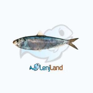 خرید ماهی ساردین، ارزش های غذایی، نحوه طبخ و قیمت ماهی ساردین