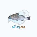 خرید ماهی سنگسر، فواید، قیمت و روش پخت ماهی سنگسر