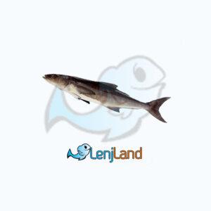 خرید ماهی سکن، ارزش غذایی، قیمت و نحوه پخت ماهی سکن