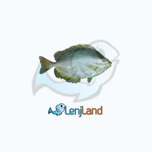 خرید ماهی صافی، ارزش غذایی، نحوه طبخ و قیمت ماهی صافی