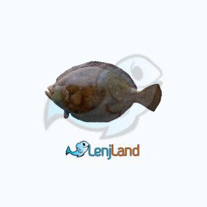 خرید ماهی کفشک، فواید، ارزش غذایی و نحوه پخت ماهی کفشک