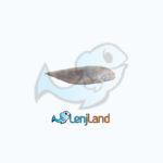 خرید ماهی زبان – قیمت ماهی زبان