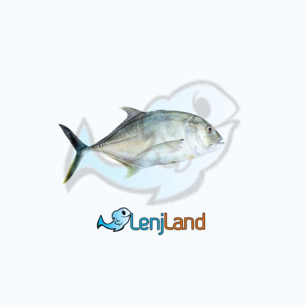 خرید ماهی مقوا سفید، قیمت و ارزش غذایی و نحوه پخت ماهی مقوا سفید